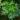 Fern_Tree_(Filicium_decipiens)